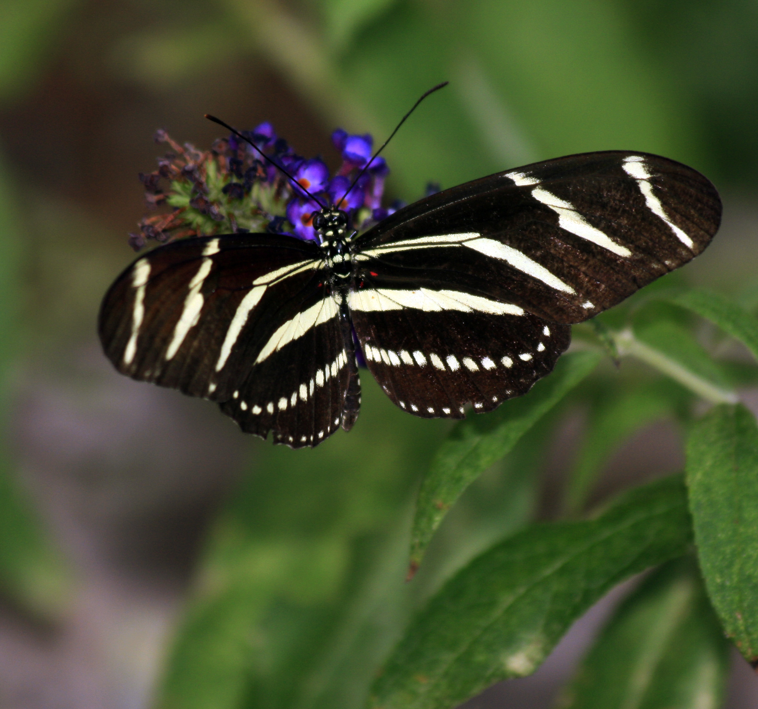 Zebra Longwing on Purple Flower